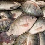 Lợi ích nuôi ghép cá rô phi với tôm