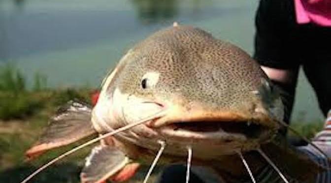 Kỹ thuật nuôi cá trê vàng thương phẩm