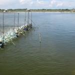 Nuôi tôm nước lợ bằng công nghệ nước xanh