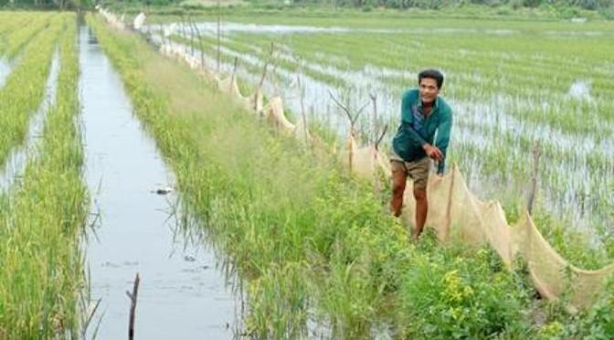 Kỹ thuật nuôi cá trong ruộng lúa