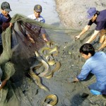 Quy trình kỹ thuật nuôi cá chình thương phẩm