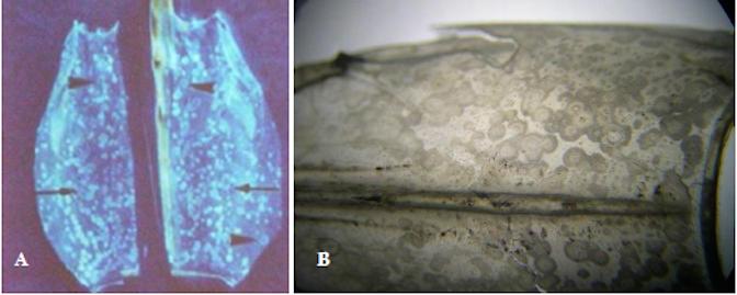 Bệnh đốm trắng do vi khuẩn ở tôm