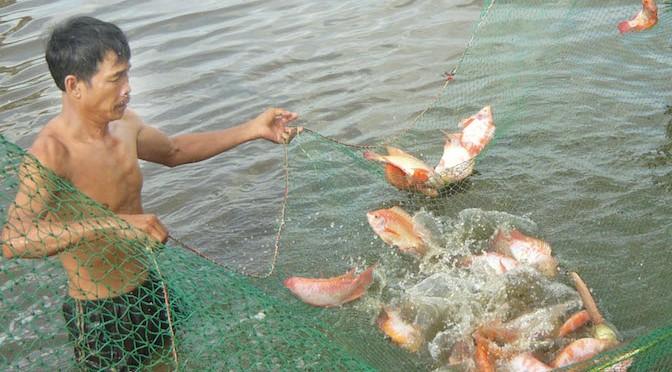 Bệnh thường gặp trên cá điêu hồng và cách phòng trị