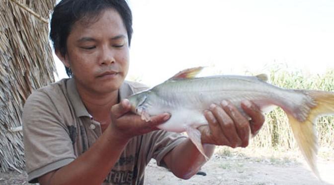 Nuôi cá bông lau giống tự nhiên