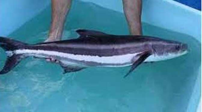 Kỹ thuật nuôi cá giò thương phẩm