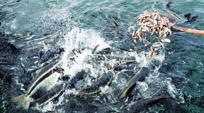 Kỹ thuật nuôi cá bớp