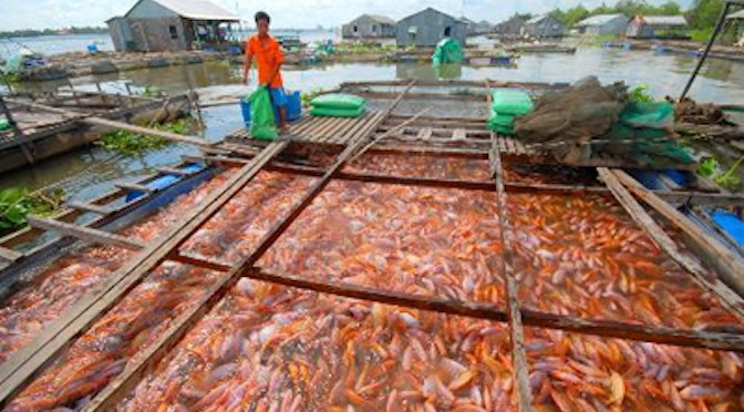 Kỹ thuật nuôi cá Điêu Hồng