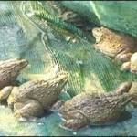 Kỹ thuật nuôi ếch Thái Lan bằng bể xi măng