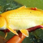 Phòng và trị bệnh kênh mang ở cá chép
