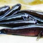Cách điều trị bệnh lở loét trên thân cá bống bớp