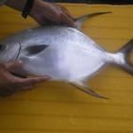Kỹ thuật nuôi cá chim vây vàng