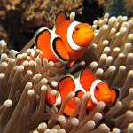Cá hề 'Nemo' có thói quen di trú xa nhà