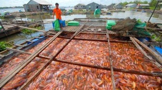 Lãi cao nhờ nuôi cá điêu hồng