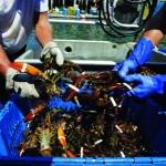 Nuôi tôm hùm trên thế giới: Hướng tới sự bền vững