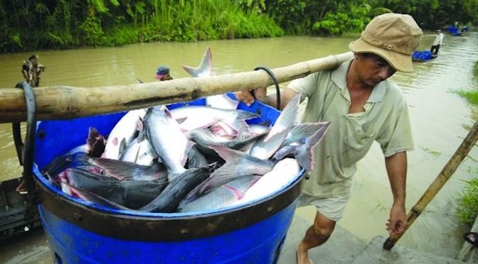 Những vấn đề ảnh hưởng đến tăng trưởng và tỷ lệ sống của cá bông lau