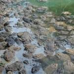 Vĩnh Long: Nông dân Thới Hoà liên kết nuôi ếch đạt hiệu quả