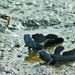 Cá nác hoa – loài nuôi tiềm năng
