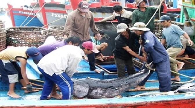 Hoàn thiện quy trình khai thác cá ngừ đại dương theo chuỗi