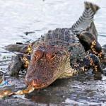 Cá sấu khổng lồ thất bại đau đớn khi tấn công chú cua nhỏ bé