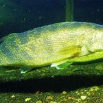 Nuôi cá totoaba thu lợi cao