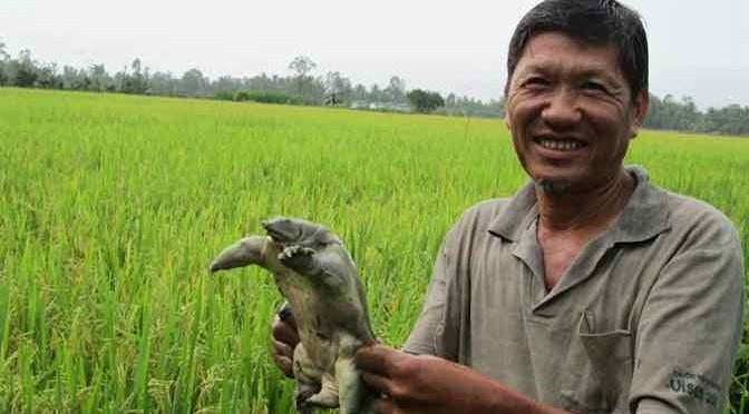 Nuôi ba ba trong ruộng lúa