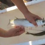 Bình Định: Hiệu quả nuôi cá đối mục trong ao nuôi tôm suy thoái