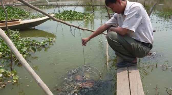 Thành phố Cà Mau: thành công từ mô hình nuôi cá chạch