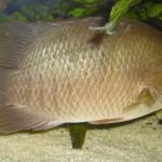Nghiên cứu một số chỉ tiêu sinh lý cá rô biển