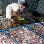 Tiền Giang: Phát triển mạnh nghề sản xuất cá rô phi giống