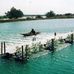 Mô hình nuôi tôm thành công trong vùng dịch tại Bạc Liêu