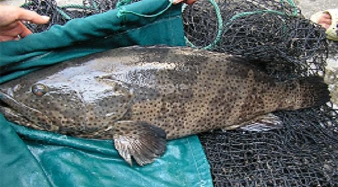Nhân giống đệ nhất đặc sản biển: Vua của mọi loài cá song