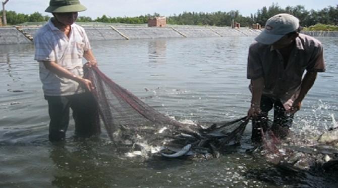 Kỹ thuật nuôi ghép cá đối mục trong vùng hạ triều ô nhiễm