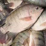 Cá rô phi: Dễ nuôi, dễ bán, dễ xuất khẩu