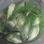 Cá rô phi trong ao lắng giúp giảm dịch bệnh tôm