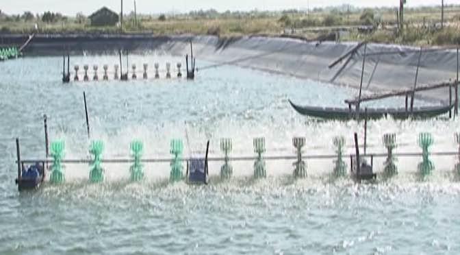 Để mô hình nuôi ghép cá rô phi vào ao tôm đạt hiệu quả cao