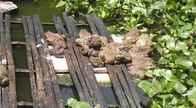 Làm giàu nhờ kết hợp nuôi ếch và cá trê
