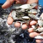 Ứng dụng công nghệ biofloc trong nuôi thâm canh cá rô phi