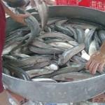 """Chọn thức ăn cho cá lóc đầu nhím tránh """"gù lưng"""""""
