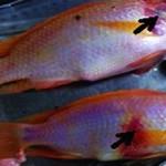 Phòng trị bệnh xuất huyết trên cá rô phi
