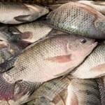 Công nghệ biofloc giúp tăng năng suất thâm canh cá rô phi