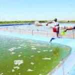 Sử dụng men vi sinh trong nuôi thủy sản: Lợi ích và những lưu ý khi sử dụng