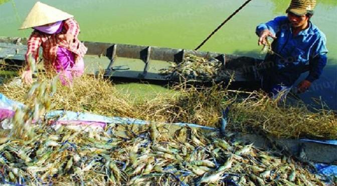 Cần đảm bảo các yếu tố kỹ thuật nuôi tôm càng xanh trong ruộng lúa