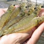Bí quyết nuôi thành công tôm nước mặn trong ao nước ngọt: lý thuyết đến thực tiễn