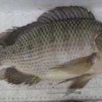 Quy trình phòng trị bệnh cho cá rô phi nuôi lồng, bè trên hồ thủy điện Sơn La
