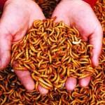 Côn trùng – Nguồn dinh dưỡng cho tôm