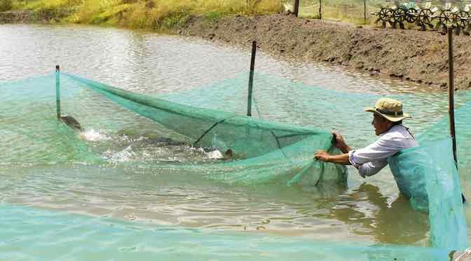 Nuôi nước trước nuôi tôm – giải pháp sinh học từ các loài cá