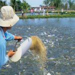 Phòng bệnh cho cá trong thời điểm giao mùa
