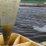 Tỉ lệ mật rỉ đường và cám lúa mì nuôi trong công nghệ Biofloc