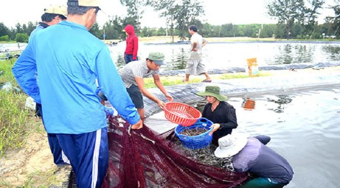 Dùng chế phẩm sinh học cho tôm: Hướng phát triển bền vững
